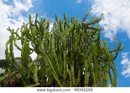 Green Cactus Forest Against Blue Skies
