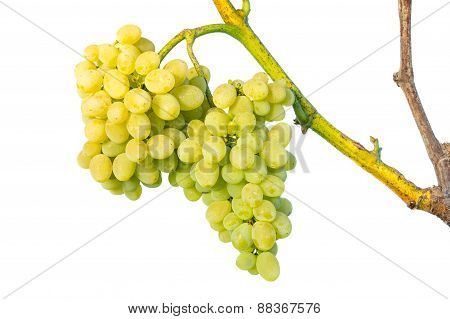 Cluster Of White Grapes On Vine