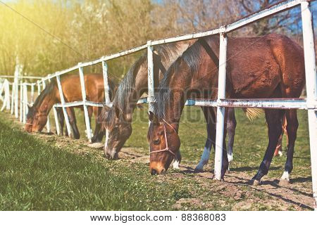 Herd Of Beautiful Young Horses Graze On The Farm Ranch