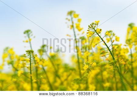 Oilseed Rapeseed Flower Close Up In Cultivated Agricultural Field