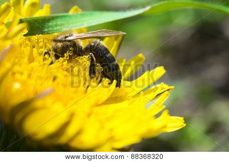 bee pollinating on a yellow flower in the garden