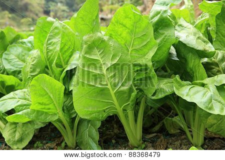 sliverbeet grow in vegetable garden