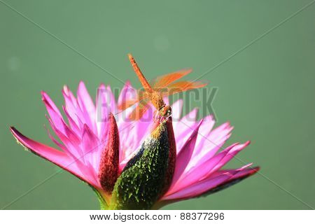 Closeup Dragonfly on a Pink Water Lily