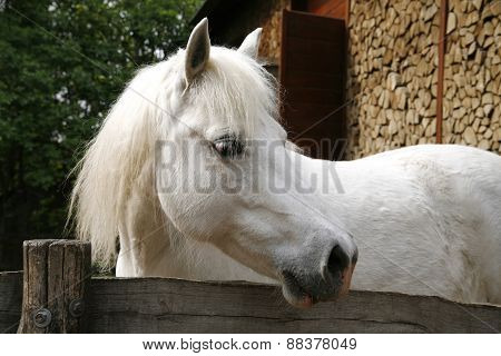 Close-up Of A White Pony Horse. Pony Looking Over The Corral Door