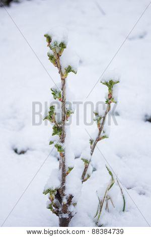 Green Bush In The Snow