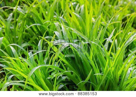 Fresh Dew On The Green Grass Closeup
