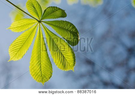 Young Chestnut Leaf Against The Sky