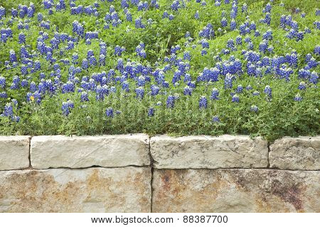 Texas Bluebonnets Above A Stone Wall