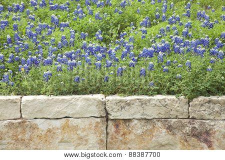 Texas Bluebonnets Above A Stone Wall