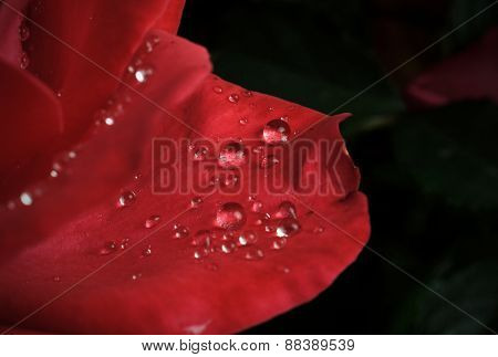 dew drops on the leaves of red roses