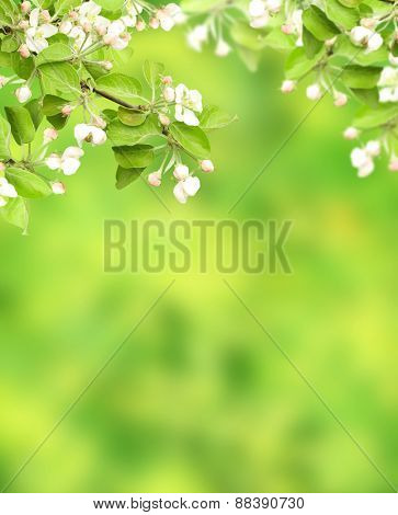 Flowers of apple on green background