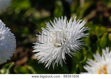 White aster flower.
