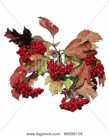 Bright Red Clusters Of Berries Of Viburnum On The Branches In The Autumn