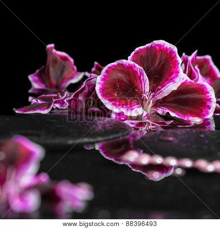 Beautiful Spa Background Of Blooming Dark Purple Geranium Flower And Beads On Reflection Dark Water,