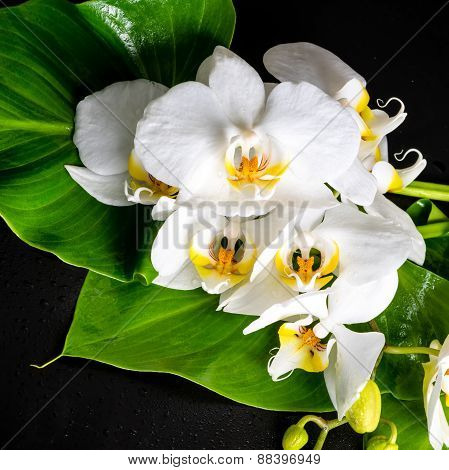 Blooming White Orchid Flower, Phalaenopsis, Green Leaf With Dew On Black Background, Closeup