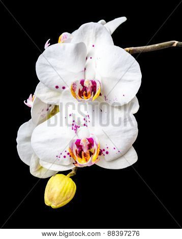 Blooming White Orchid Phalaenopsis With Lilac Spots Is Isolated On The Black, Closeup