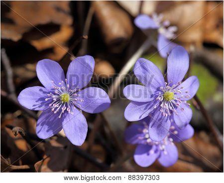 Anemone Hepatica.