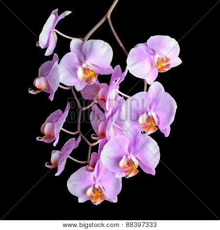 Blooming Twig Of Purple Orchid Phalaenopsis Is Isolated On Black Background, Closeup