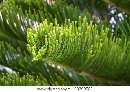 Green branch of a fir-tree with needles