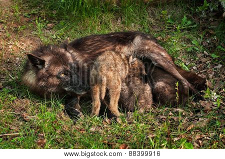 Black Wolf (canis Lupus) Feeds Her Pups
