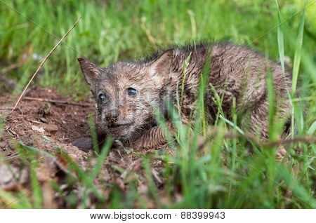 Coyote (canis Latrans) Pup In The Dirt