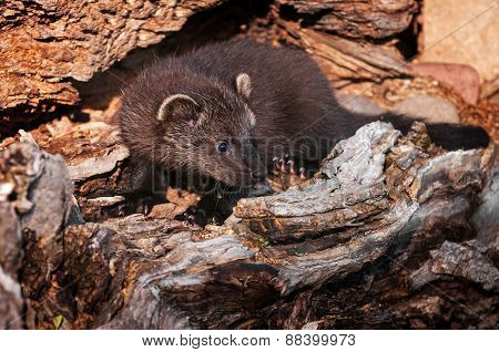 Young Fisher (martes Pennanti) In Log