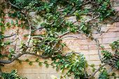 picture of ivy vine  - Ivy on a stone wall - JPG