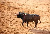stock photo of arena  - Bull in bullfight arena during bullfights Portugal - JPG