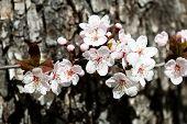 pic of white bark  - white cherry flowers in spring on tree bark background - JPG