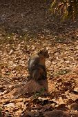 foto of macaque  - Long tailed macaque  - JPG