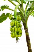 picture of banana tree  - closeup banana on tree isolated on white background - JPG