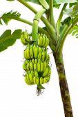 foto of banana tree  - closeup banana on tree isolated on white background - JPG