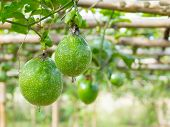 picture of passion fruit  - Close  - JPG
