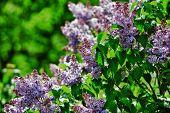 foto of lilac bush  - purple lilac bush blooming in May day - JPG