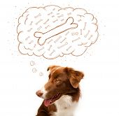 pic of border collie  - Cute brown and white border collie sitting and dreaming about a bone in a thought bubble - JPG