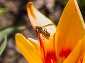 foto of vespa  - Macro vespa stay on the tullip in my garden - JPG