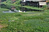 picture of water pollution  - Many water hyacinth in canal made water pollution - JPG