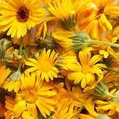 pic of marigold  - marigold - JPG