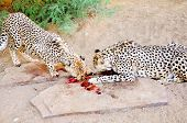 stock photo of cheetah  - Two Cheetahs in Captivity, Feeding Together on Raw Meat, in Sandy Shady Enclosure ** Note: Soft Focus at 100%, best at smaller sizes - JPG