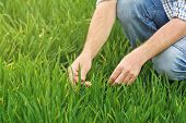 stock photo of cultivation  - Farmer Examines and Controls Young Wheat Cultivation Field Crop Protection Concept - JPG