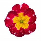 stock photo of primrose  - pink Primula Primrose with dew drops isolated white background - JPG