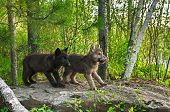 stock photo of lupus  - Two Wolf Pups  - JPG