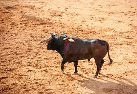 picture of bullfighting  - Bull in bullfight arena during bullfights Portugal - JPG