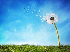 stock photo of dandelion seed  - Dandelion with seeds blowing away in the wind across a clear blue sky with copy space - JPG