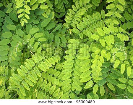 Bright Green Leaves Of Acacia