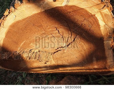 Felled Tree Trunk Close-up