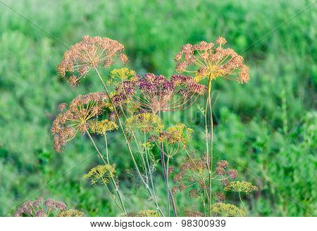 Stems And Umbel Inflorescence Of Dill On Blurred Background