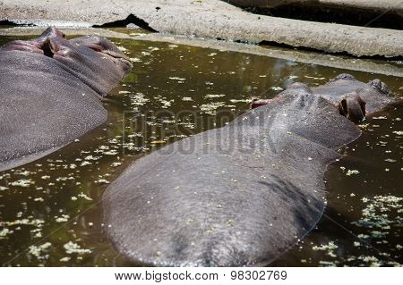Hippopotamus On River In Africa