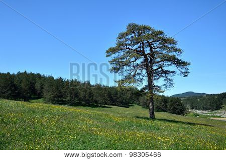 Conifer Tree And Coniferous Woods