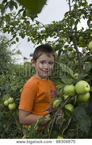 cute little boy by an Apple tree with apples